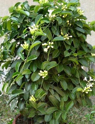Mondocdp cdp citelli piante velenose for Pianta della miseria