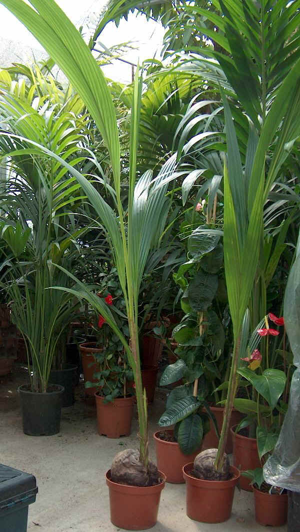 Papiro pianta tutte le offerte cascare a fagiolo for Pianta palma